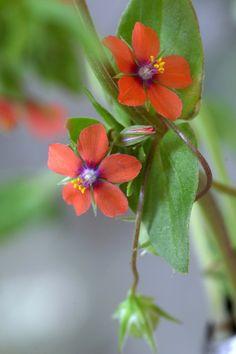 The fruit of Scarlet pimpernel.