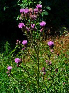 Acker cirsium pappus clipart #13