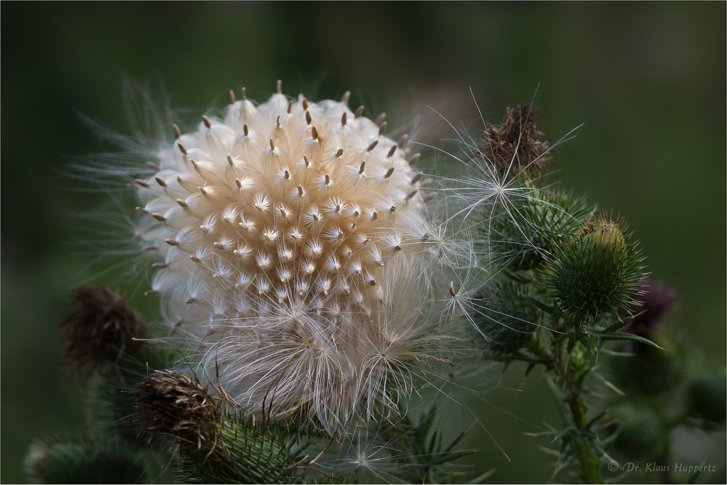 The World's Best Photos of asteraceae and pappus.