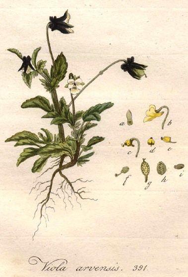 Viola arvensis Flora Batava.