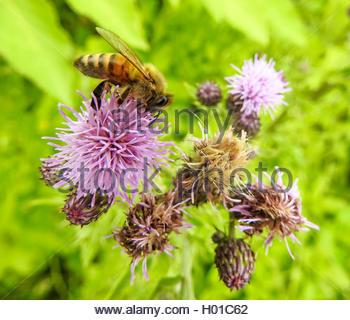 Acker cirsium pappus clipart #20