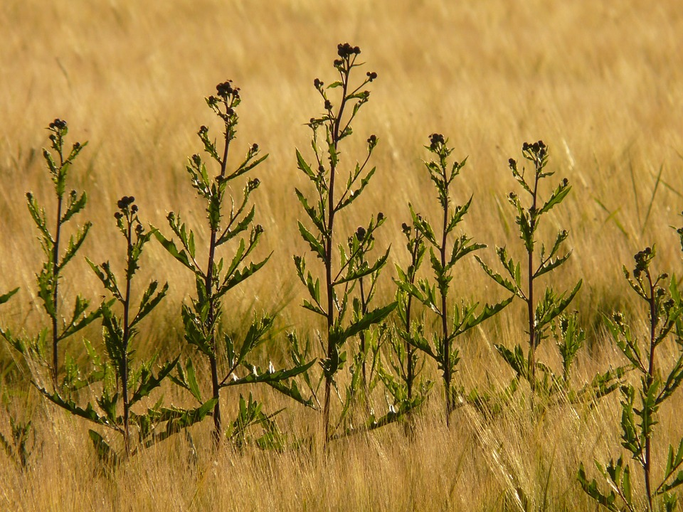 Free photo: Creeping Thistle, Cirsium Arvense.