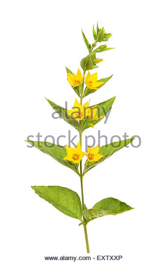 Lysimachia Cut Out Stock Images & Pictures.