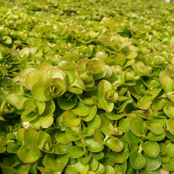 Golden Creeping Jenny Lysimachia nummularia Aurea Golden Moneywort.