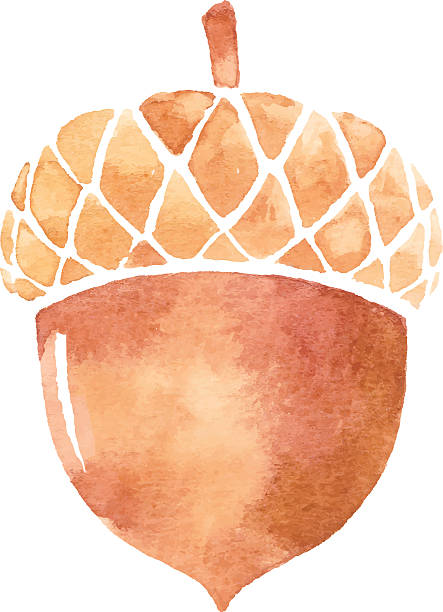 Best Acorn Illustrations, Royalty.