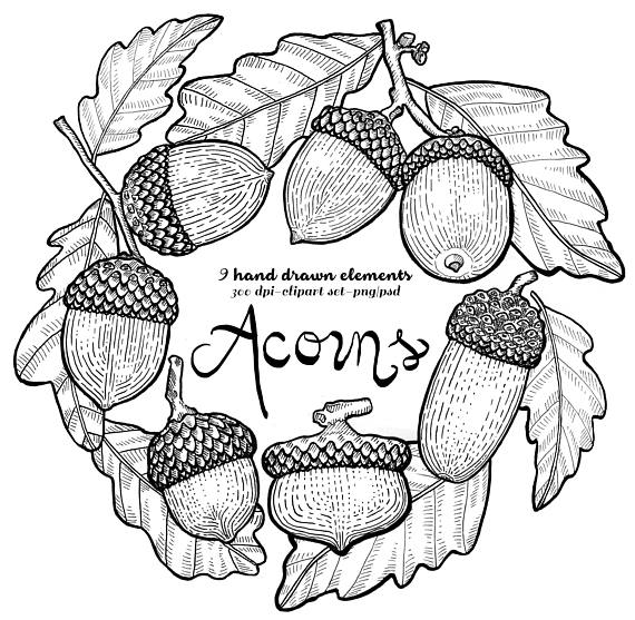Fall Acorn Clipart. Instant Download. Lithographic, acorn.