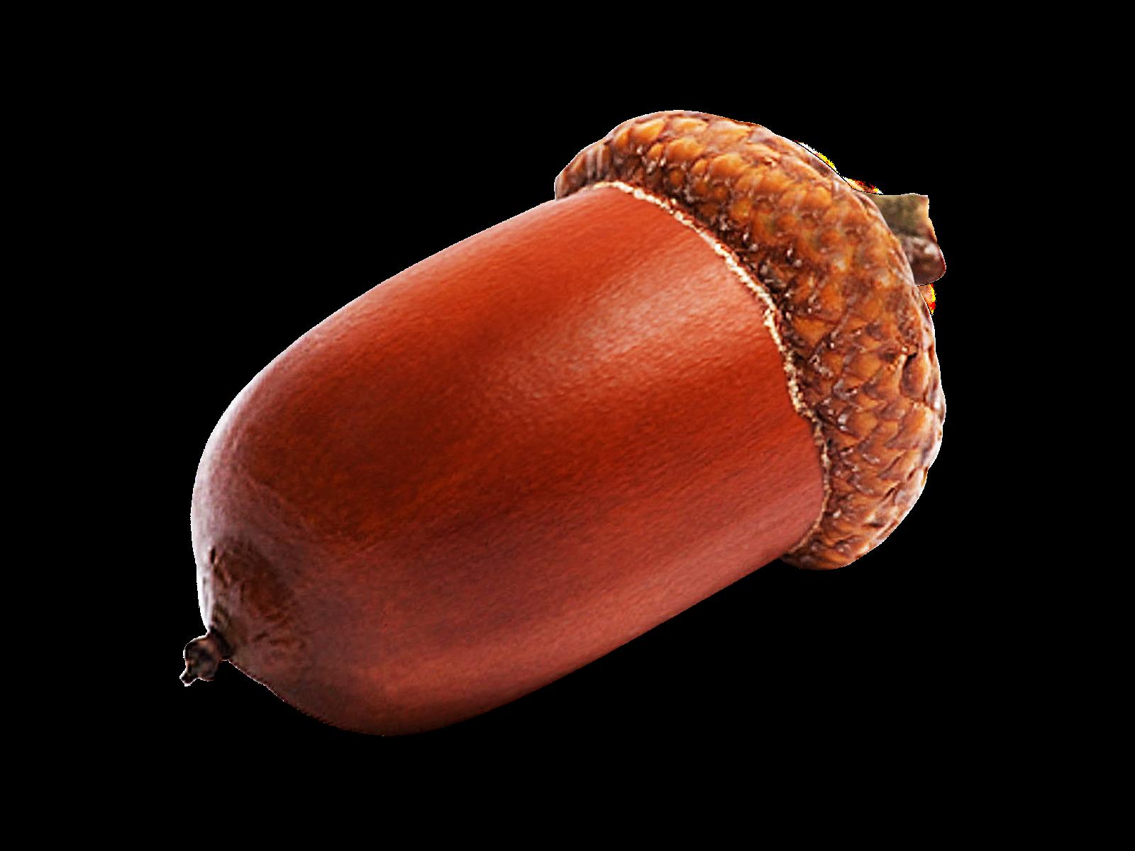 Acorn PNG Image.
