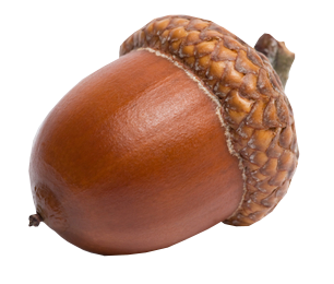 Acorn PNG imge, free picture download.
