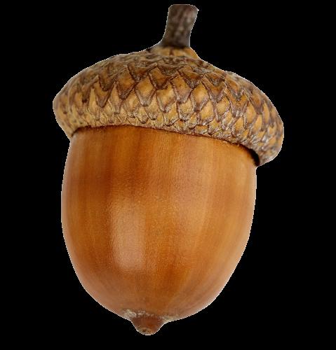 Dried acorn.