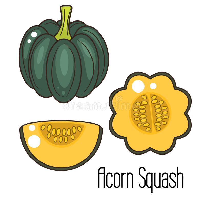 Acorn Squash Stock Illustrations.