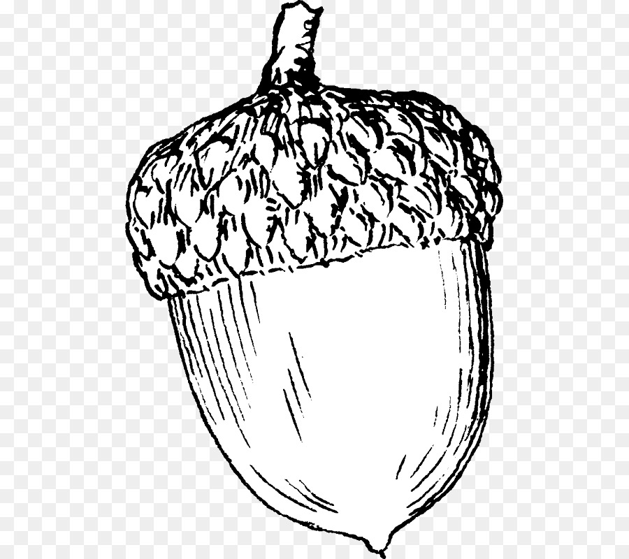 Acorn Drawing Clip art.