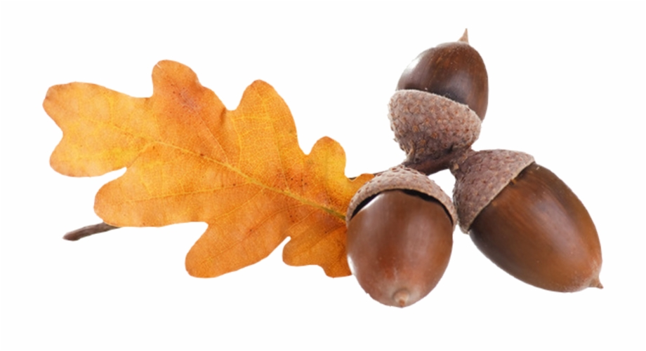 Nut Clipart Autumn Acorn.