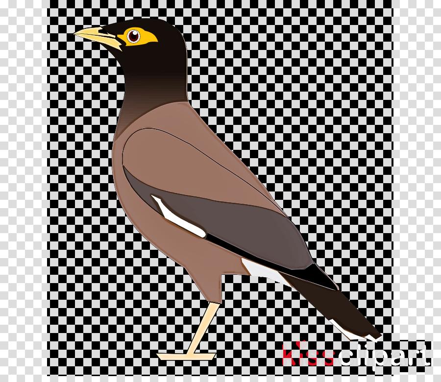 bird beak acridotheres common myna myna clipart.