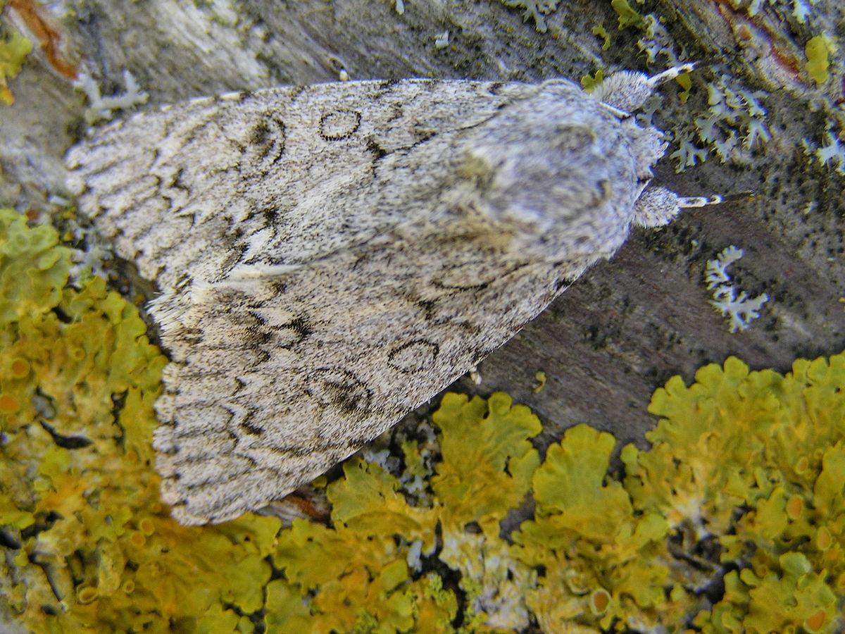 Sycamore (moth).