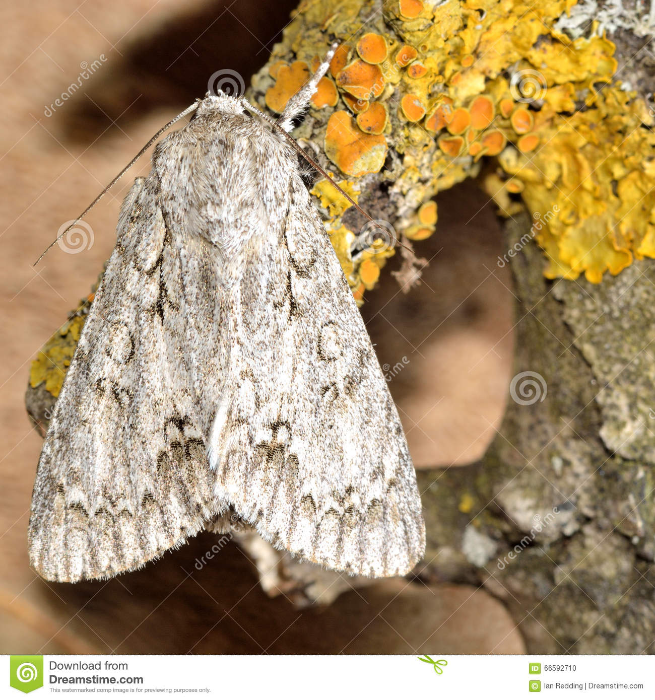 The Sycamore Moth (Acronicta Aceris) Stock Photo.