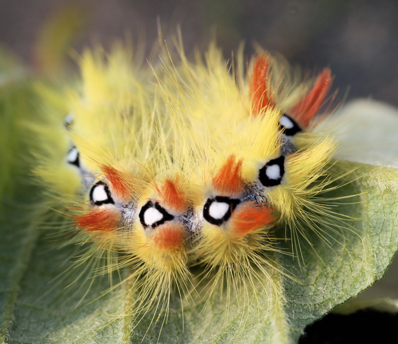 File:Acronicta aceris Caterpillar.JPG.