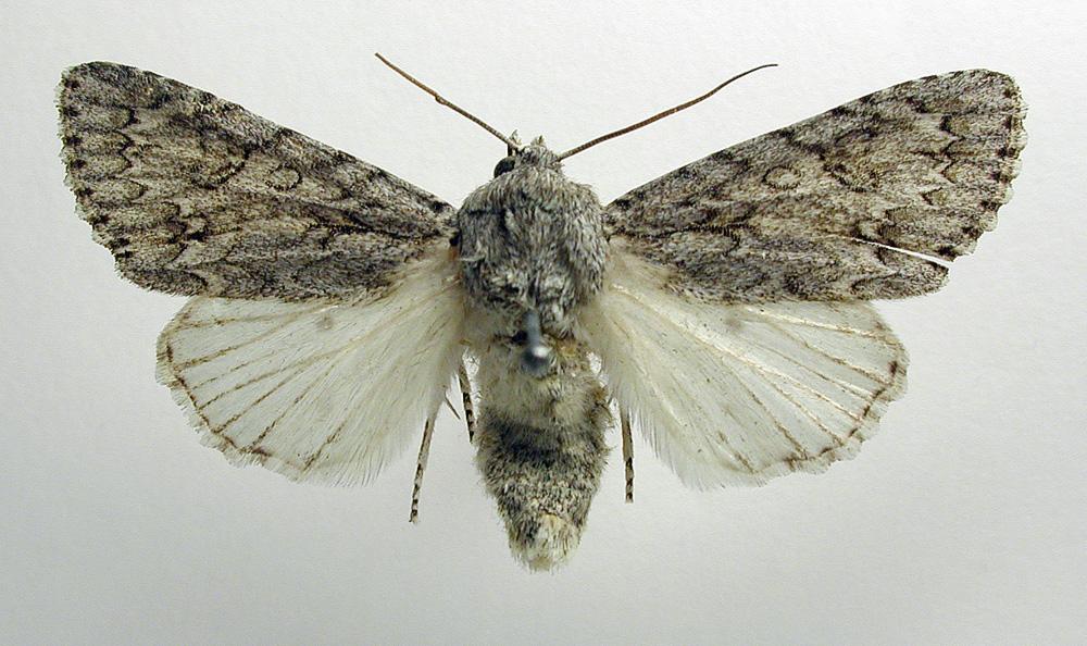 Acronicta aceris Linnaeus, 1758.