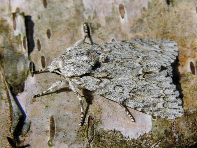 Sycamore (Acronicta aceris) Biopix photo/image 12581.