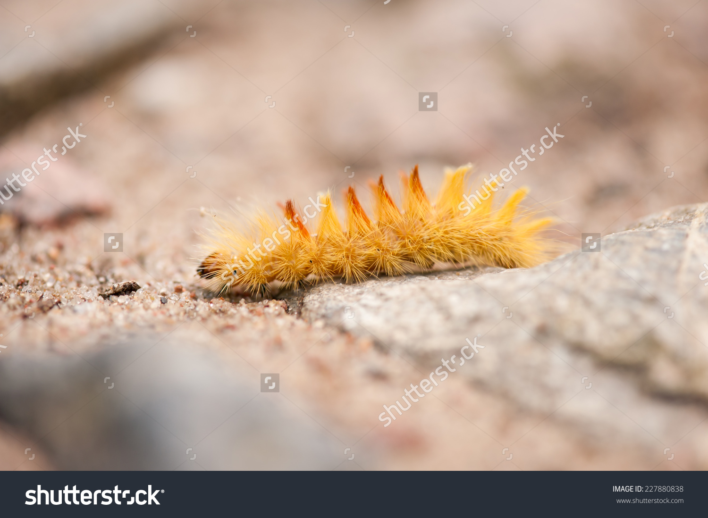 Sycamore Yellow Caterpillar, Moth Acronicta Aceris, Polish Name.