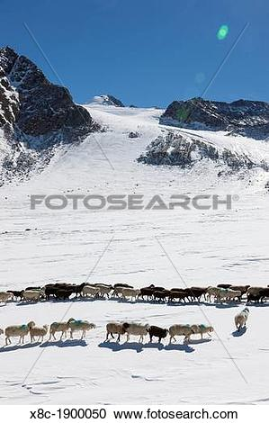 Stock Photography of Transhumance.