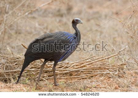 "vulturine Guineafowl"" Stock Photos, Royalty."