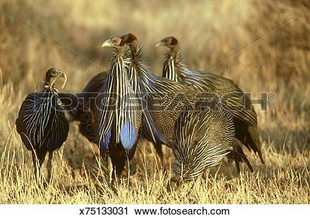 Stock Photography of vulturine guineafowl: acryllium vulturinum.