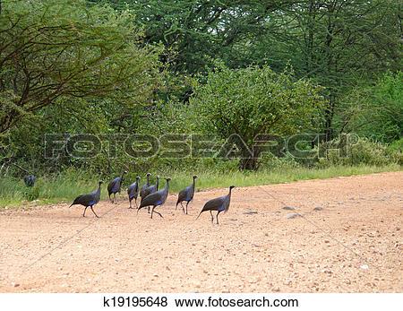 Pictures of Loggerhead guinea fowl. Samburu. (Acryllium vulturinum.
