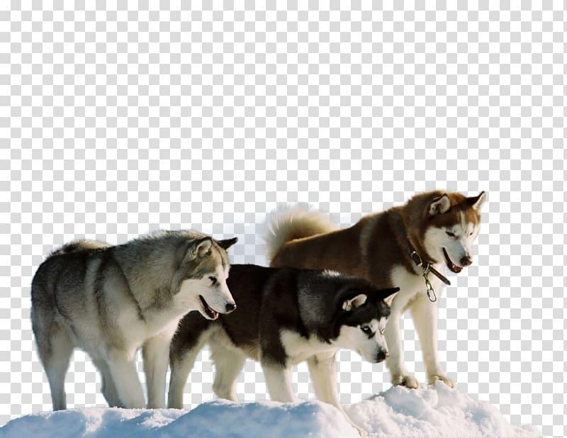 Siberian Husky Antarctic Jerry Shepard Film, husky.