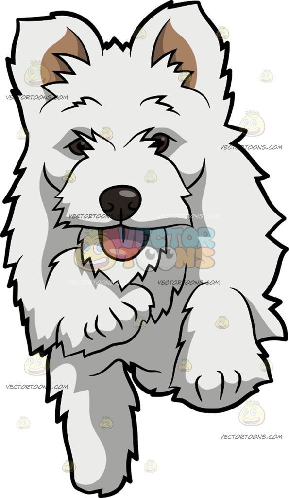 An Active West Highland White Terrier: A dog with unruly.