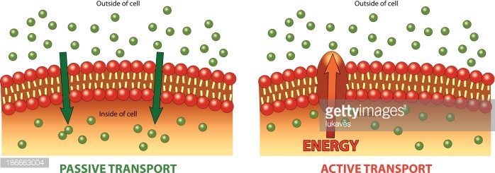 Active and Passive transport Clipart Image.
