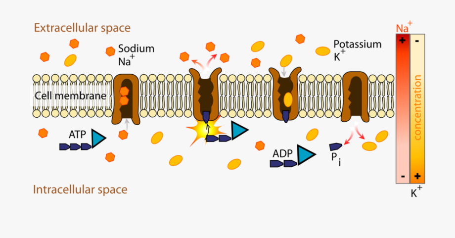 Cell Membrane Png.
