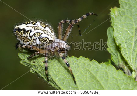 Oak Spider Aculepeira Ceropegia On Trunk Stock Photo 58584880.