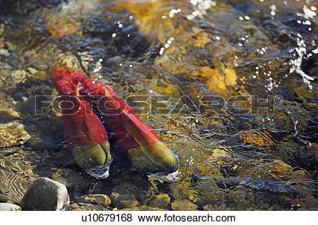 Pictures of Sockeye salmon (Oncorhynchus nerka), Adams River.
