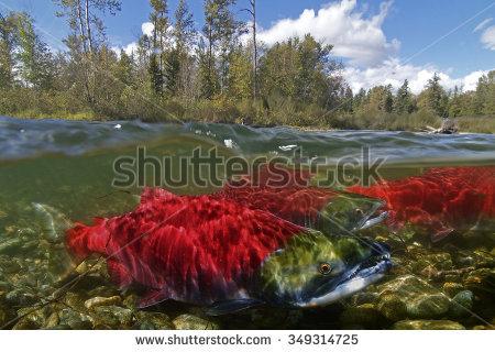 Salmon Run Stock Photos, Royalty.
