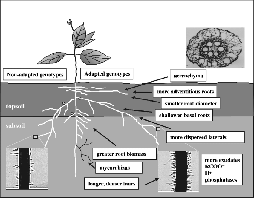 2 Changes in root architecture, morphology, and anatomy.