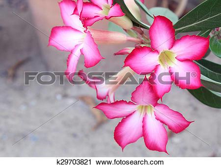 Stock Photography of Red Desert Flower, adenium obesum. k29703821.