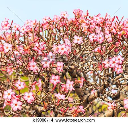 Stock Photo of Desert Flower, adenium obesum ,Bonsai tree.