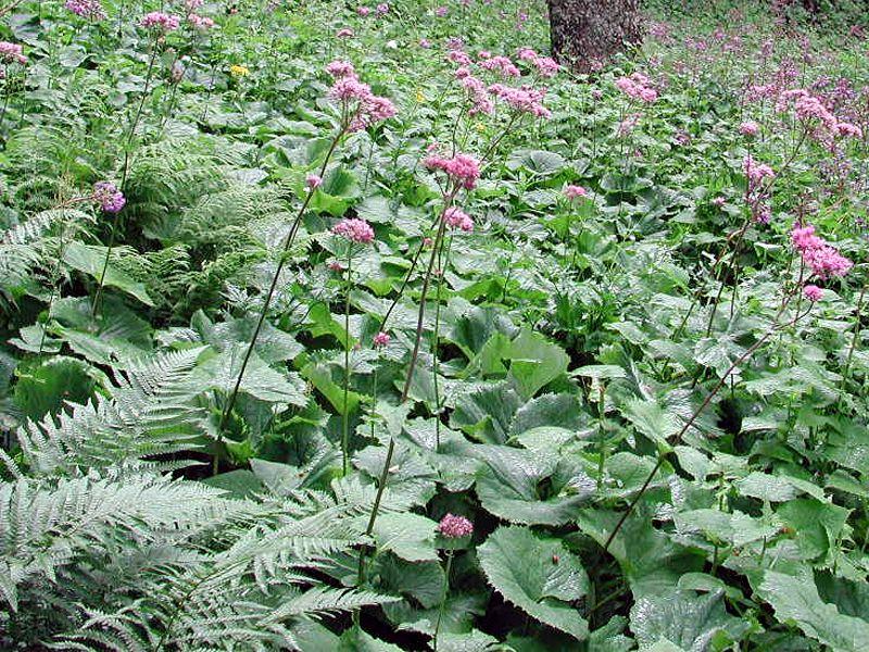 Alpandino :: Clonal growth and longevity in alpine plants.