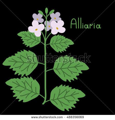 Alliaria Стоковые фотографии, изображения безлицензионных платежей.