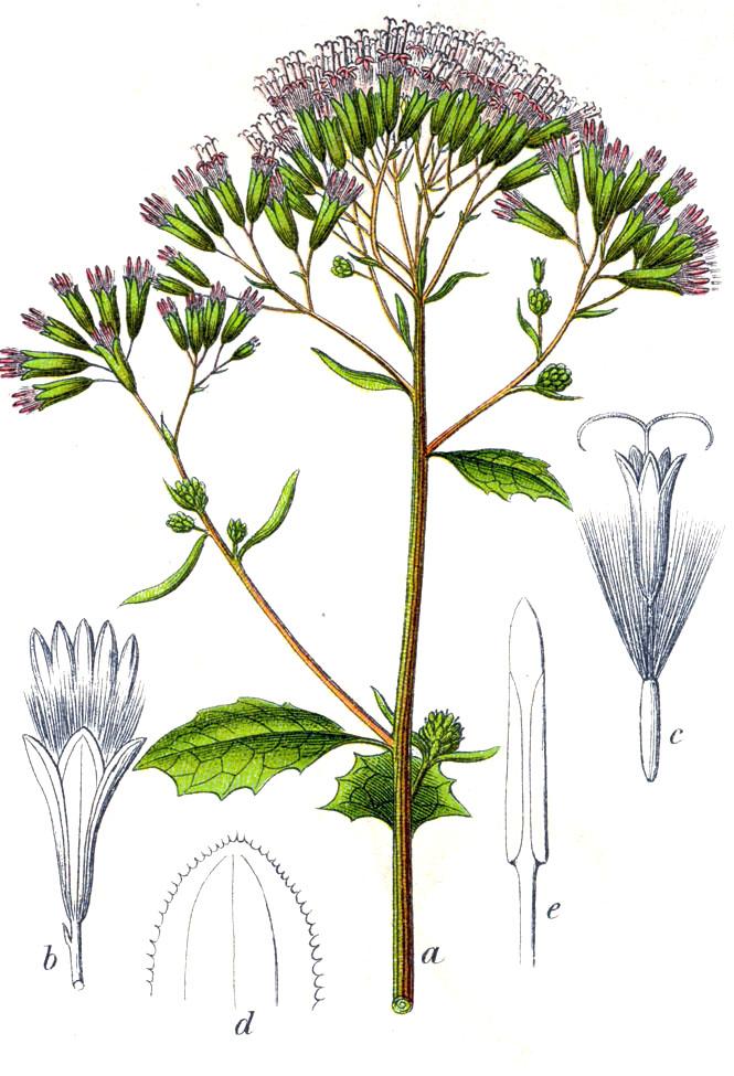 Adénostyle à feuilles d'alliaire.