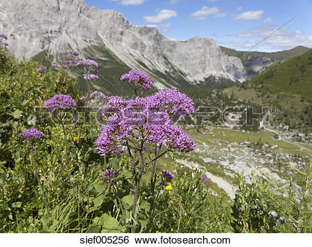 Stock Images of Austria, Carnic Alps, Obere Wolayer Alm, Alpine.