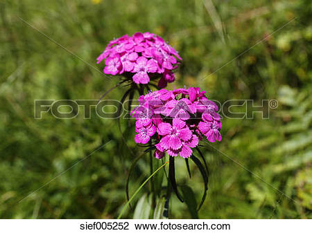 Stock Photo of Austria, Carinthia, Carnic Alps, Sweet William.
