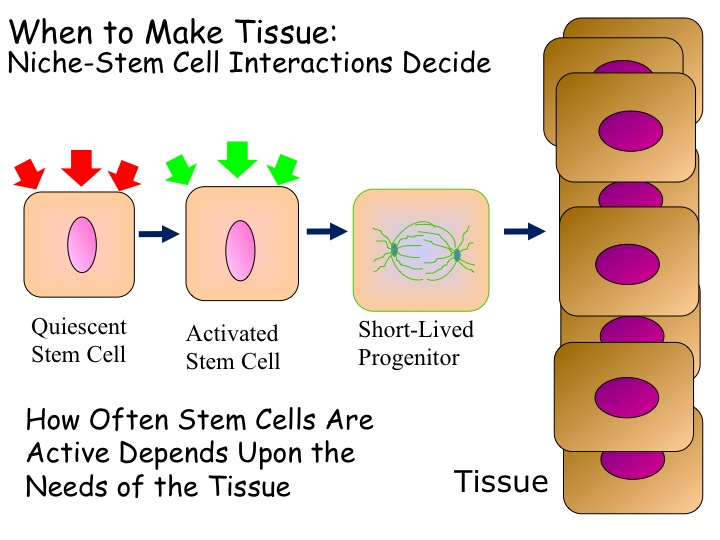 The Rockefeller University » Stem Cells of the Skin and Their Lineages.