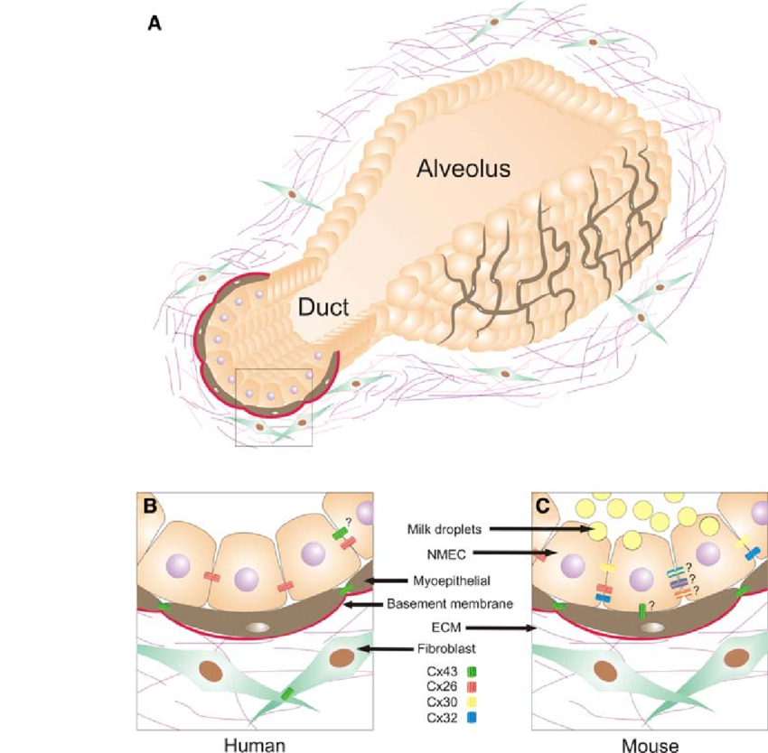 Connexins and Gap Junctions in Mammary Gland Development and.