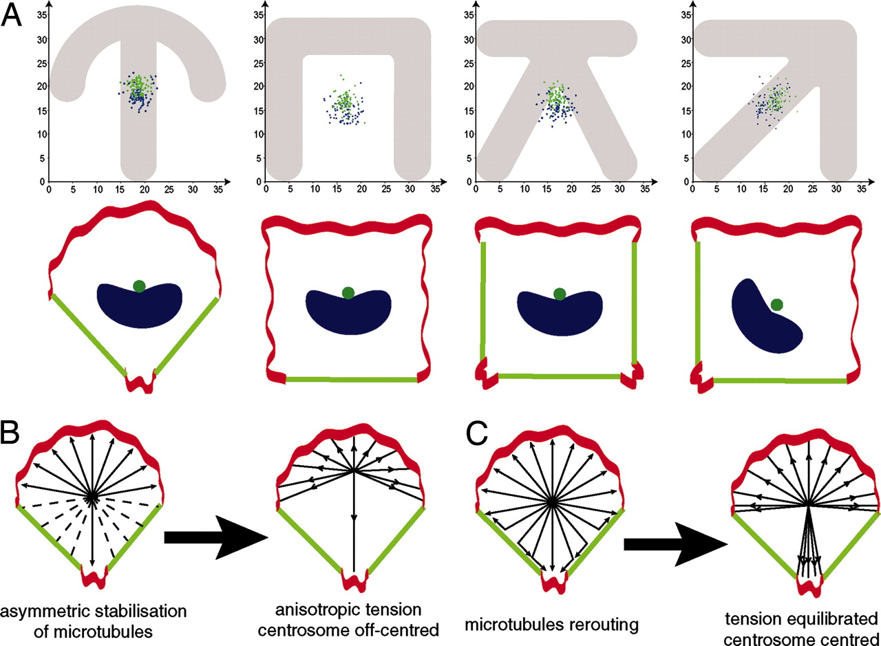 Anisotropy of cell adhesive microenvironment governs cell internal.