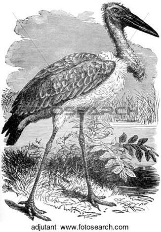 Stock Illustration of Birds. An adjutant (a large bird). adjutant.