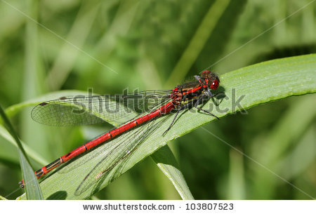 Red Dragonfly Stock Photo 155341430.
