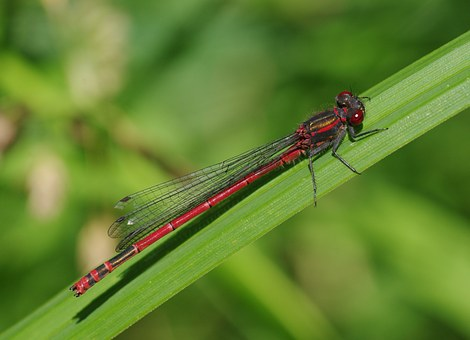 Red, Dragonfly.