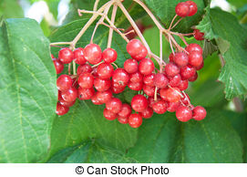 Stock Photographs of Viburnum is a genus of woody flowering plants.