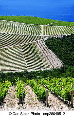 Stock Photography of Vineyard in Dalmatia, Croatia, at the.